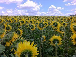 800px-Sunflower_field