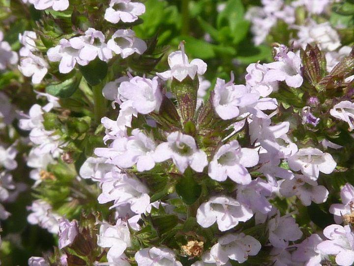 800px-Thymus_x_citriodorus_'Lemon_Thyme'_(Labiatae)_flowers